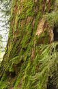 Free Sequoia Trunk Covered With Moss Royalty Free Stock Image - 129506