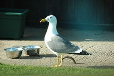 Free Seagull Royalty Free Stock Image - 121606
