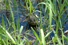 Free Frog At Mohawk Bay Royalty Free Stock Photos - 121688