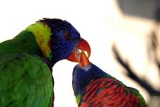 Free Colorful Green Parrot Feeding Another Parrot Close Up Royalty Free Stock Image - 121986
