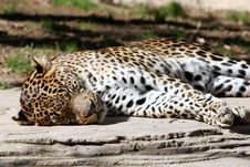 Free Leopard Asleep Lazing In The Sun Royalty Free Stock Image - 123696