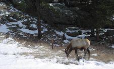 Free Grazing Elk Royalty Free Stock Photo - 123885