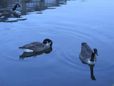 Free Geese In Water Royalty Free Stock Images - 124999