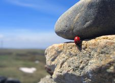 Free Traveling Ladybug 1 Stock Photo - 125060