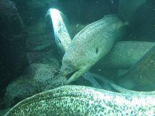 Free Moray Eels Stock Photo - 125280
