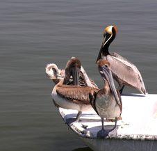 Free Pelicans Stock Photos - 127553