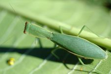 Free Preying Mantis Macro Stock Photo - 127740