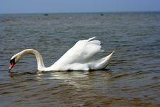 Free Swan At The Beach. Royalty Free Stock Images - 127769