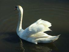 Free Swan Stock Image - 127811