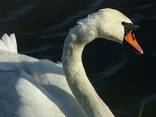 Free Swan Stock Photography - 127812