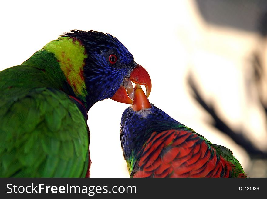 Colorful Green Parrot feeding another Parrot close up