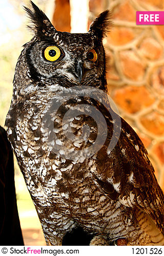 Brown Owl Stock Photo