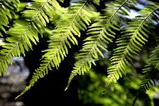 Free Fern Royalty Free Stock Image - 1201326