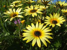 Free Daisy Flowers Royalty Free Stock Image - 1202906