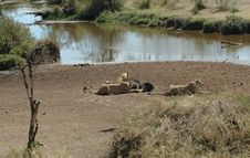 Free Lions Eating A Wildebeest Royalty Free Stock Image - 1204046