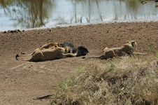 Free Lions Eating A Wildebeest Stock Photography - 1204052
