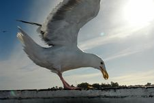 Free Seagull Royalty Free Stock Photos - 1204868