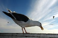 Free Seagull Stock Image - 1204871