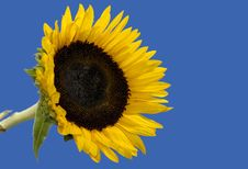 Free Sunflower Royalty Free Stock Images - 1205309