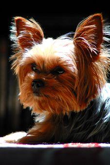 Free Teeny Dog Royalty Free Stock Image - 1205626