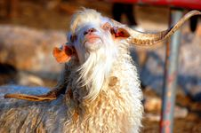 Free The Goat Royalty Free Stock Photos - 1206728