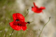 Free Poppy And Bee Stock Photography - 1207582