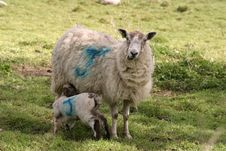 Free Sheep And Lamb Stock Images - 1208134
