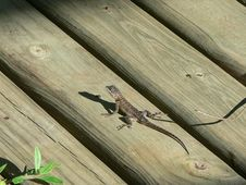 Free Bearded Dragon Stock Images - 1208174