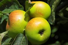 Free Three Apples Royalty Free Stock Photos - 1208668
