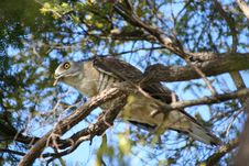 Free Crested Hawk Royalty Free Stock Photo - 1209025