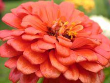 Free Red Daisy Macro Royalty Free Stock Photo - 1209825