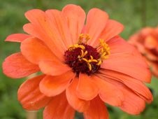 Free Red Daisy Macro Stock Images - 1209844