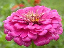 Free Red Daisy Macro Royalty Free Stock Image - 1209856