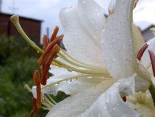Free Petal To White Lily Stock Photos - 1209903