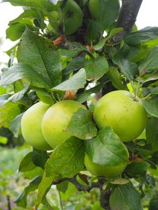 Free Fruit, Fruit Tree, Apple, Plant Royalty Free Stock Image - 120113896