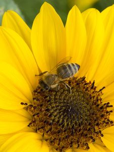Free Honey Bee, Bee, Flower, Yellow Stock Photos - 120114053