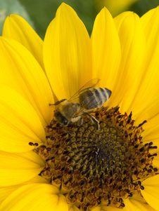 Free Honey Bee, Bee, Flower, Yellow Stock Photos - 120114053