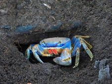 Free Crab, Decapoda, Dungeness Crab, Crustacean Stock Photo - 120114080