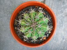 Free Plant, Cactus, Hedgehog Cactus, Thorns Spines And Prickles Royalty Free Stock Images - 120114099
