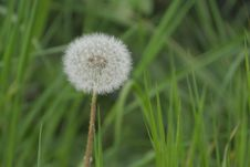 Free Dandelion, Flower, Grass, Flora Stock Images - 120114374