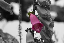 Free Flower, Pink, Black And White, Plant Stock Photo - 120114550