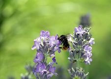 Free Flower, Bee, Lavender, English Lavender Stock Image - 120114821
