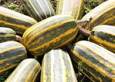 Free Cucumber Gourd And Melon Family, Winter Squash, Produce, Plant Royalty Free Stock Images - 120114869