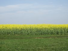 Free Field, Yellow, Rapeseed, Canola Stock Image - 120115001