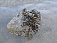 Free Mineral, Rock, Clams Oysters Mussels And Scallops, Geology Stock Images - 120115014