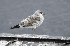 Free Bird, Gull, Seabird, European Herring Gull Royalty Free Stock Photography - 120115117