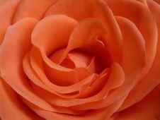 Free Rose, Orange, Pink, Flower Stock Photos - 120115173