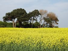 Free Rapeseed, Field, Yellow, Mustard Plant Royalty Free Stock Images - 120115429