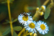 Free Fly On Daisy Flower Royalty Free Stock Photo - 120142615
