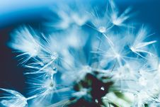 White Dandelion With Water Drops Retro Royalty Free Stock Photos